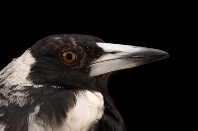Picture of a White-backed magpie (Gymnorhina tibicen hypoleuca) at the Oklahoma City Zoo.