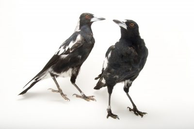 Picture of white-backed magpies (Gymnorhina tibicen hypoleuca) at the Oklahoma City Zoo.