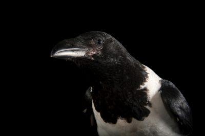 A pied crow (Corvus albus) at Ocean Park in Hong Kong.