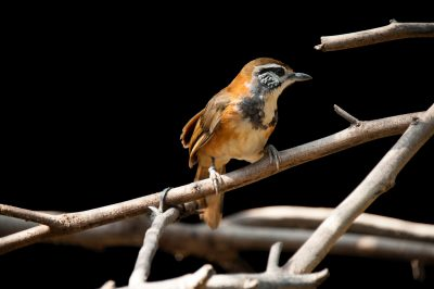 A greater necklaced laughingthrush (Garrulax pectoralis pectoralis) at Ocean Park in Hong Kong.