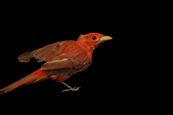 Picture of a male summer tanager (Piranga rubra) at the Tulsa Zoo.