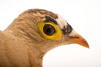 Picture of a four-banded sandgrouse (Pterocles quadricinctus) at the Tulsa Zoo.
