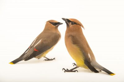 Two cedar waxwings (Bombycilla cedrorum larifuga) at the Wildlife Rehabilitation Center of Northern Utah.