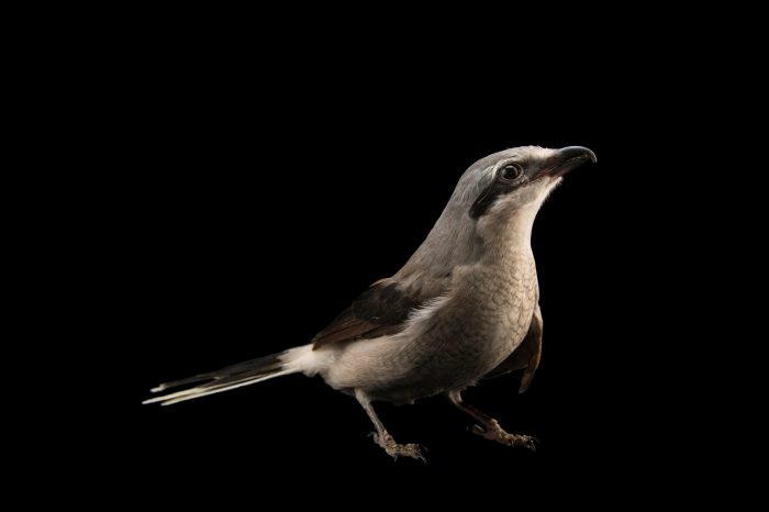 Picture of a great grey shrike, northern grey shrike, or northern shrike (Lanius excubitor) at the Wildlife Rehabilitation Center of Northern Utah.
