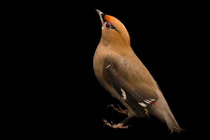 Photo: A Bohemian waxwing (Bombycilla garrulus) at the Wildlife Rehabilitation Center of Northern Utah.