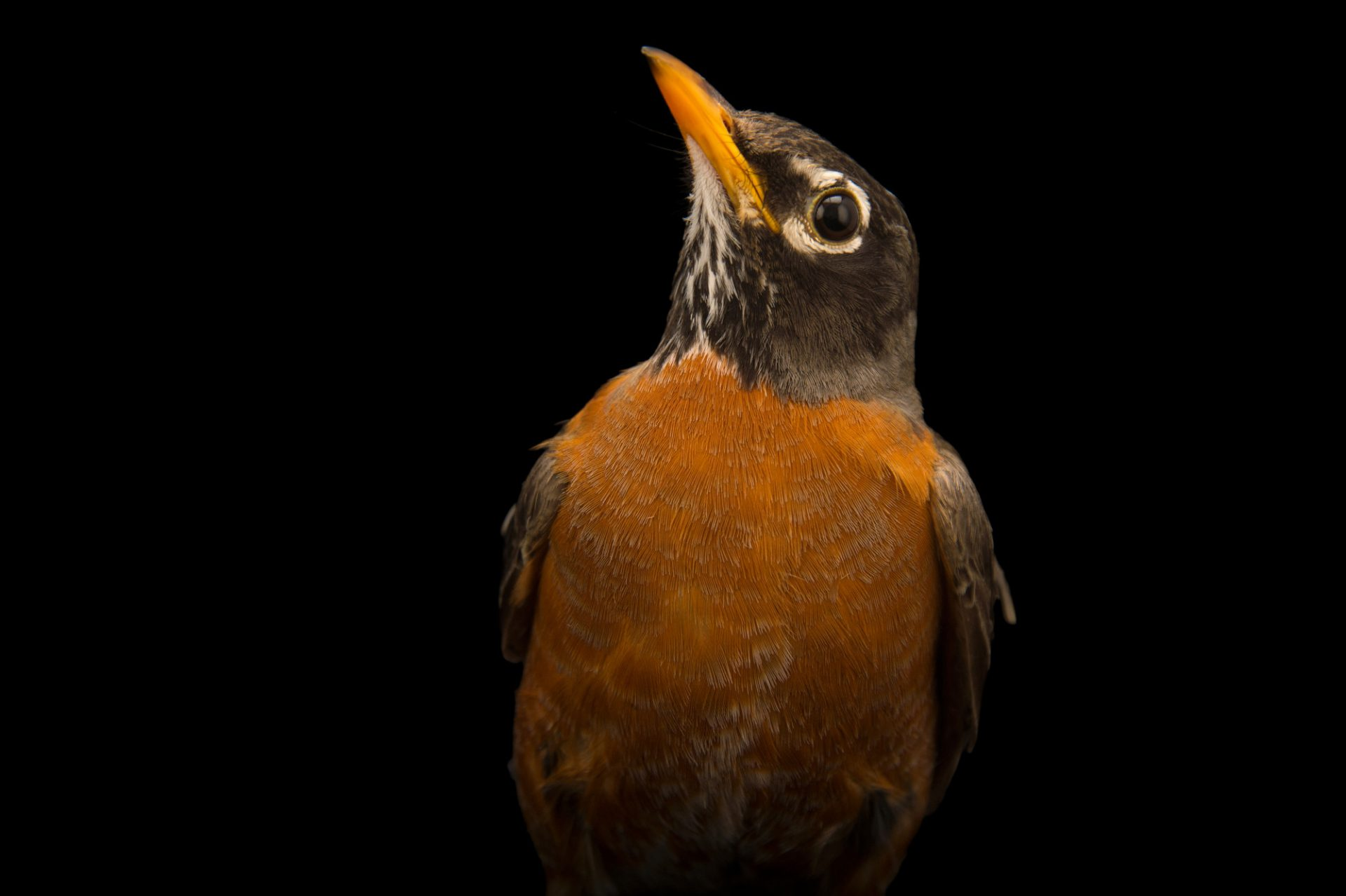 An American robin (Turdus migratorius propinquus) at the Wildlife Rehabilitation Center of Northern Utah.