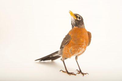 An American robin (Turdus migratorius propinquus) at the Wildlife Rehabilitation Center of Northern Utah.