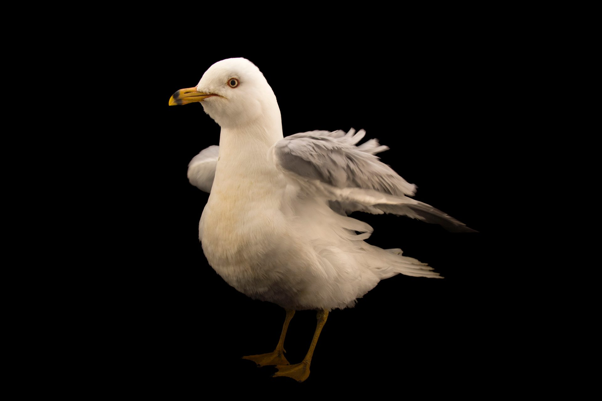 Picture of a ring-billed gull (Larus delawarensis) at the Wildlife Rehabilitation Center of Northern Utah.