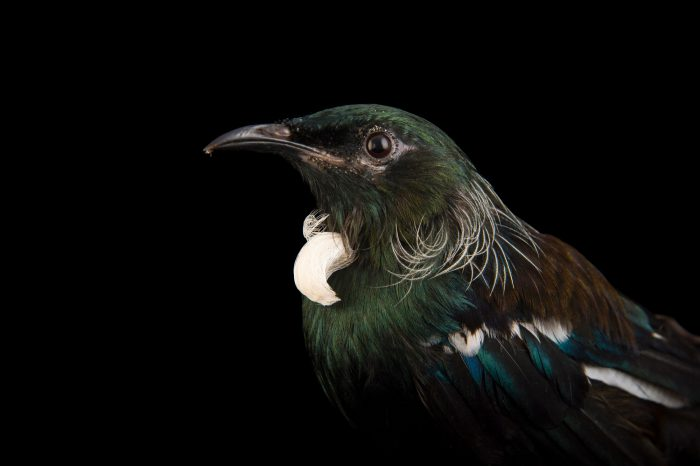 Picture of a tui (Prosthemadera novaeseelandiae) at SPCA Bird Wing, a bird rehab center in Auckland, New Zealand.