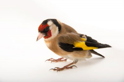 Picture of a European goldfinch (Carduelis carduelis) at SPCA Bird Wing, a bird rehab center in Auckland, New Zealand.