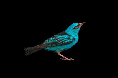 Picture of a male blue dacnis (Dacnis cayana) at Tracy Aviary.