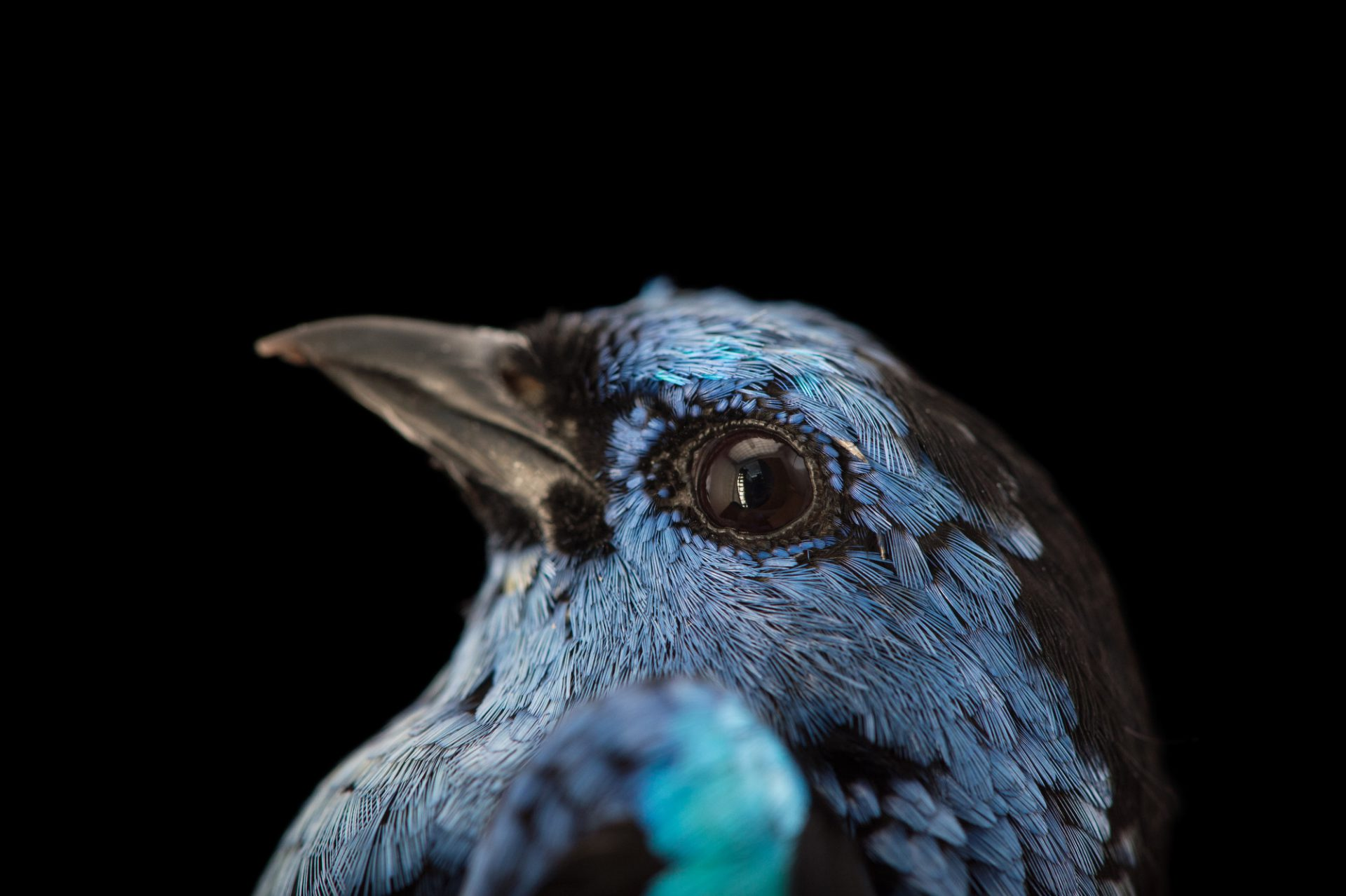 Picture of a Turquoise tanager (Tangara mexicana) at Tracy Aviary.