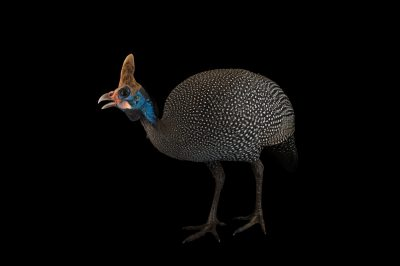 Picture of a Reichenow's helmeted guineafowl (Numida meleagris reichenowi) at Sylvan Heights Bird Park.