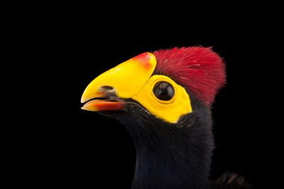 A Ross's turaco (Musophaga rossae) at the Cleveland Metroparks Zoo.