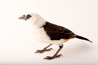 A white-headed buffalo weaver (Dinemellia dinemelli) at the Cleveland Metroparks Zoo.