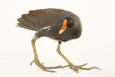 A common moorhen (Gallinula galeata cachinnans) from a private collection in the Dominican Republic.