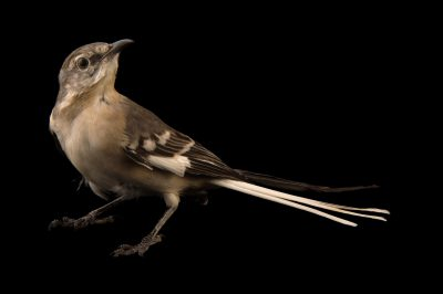 Picture of a Northern mockingbird (Mimus polyglottos) from a private collection in the Dominican Republic.