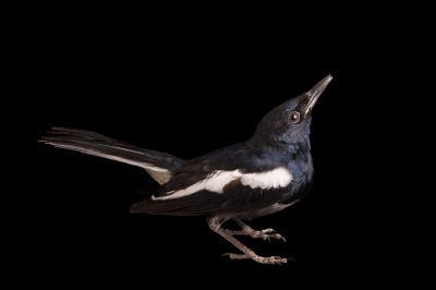 Picture of an oriental magpie robin (Copsychus saularis) at the Saint Louis Zoo.