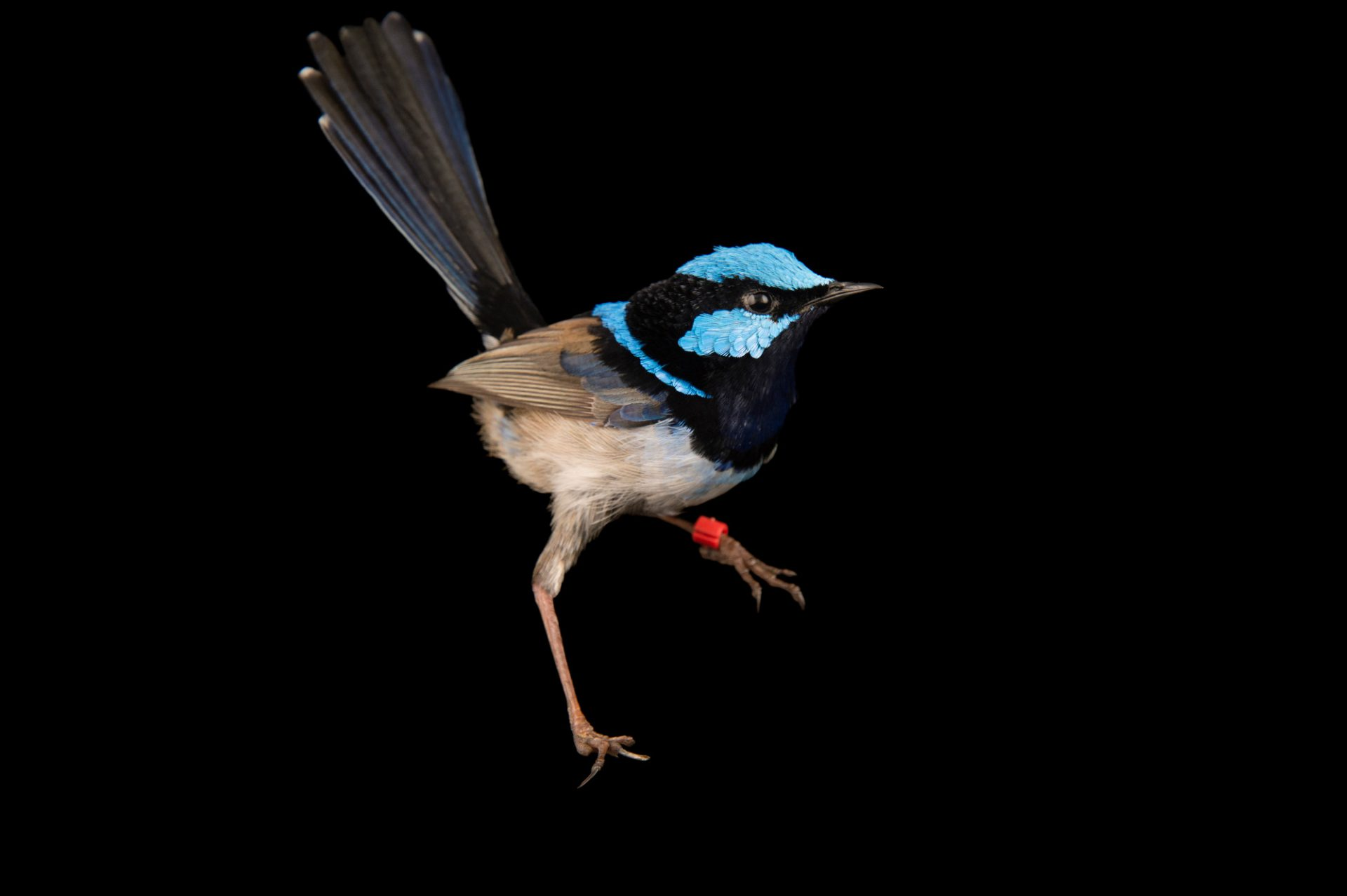 Picture of a superb fairywren (Malurus cyaneus) at the Healesville Sanctuary.