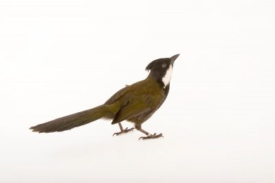 Picture of an Eastern whipbird (Psophodes olivaceus) at Healesville Sanctuary.