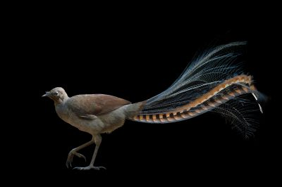 Picture of a superb lyrebird (Menura novaehollandiae) at Healesville Sanctuary.