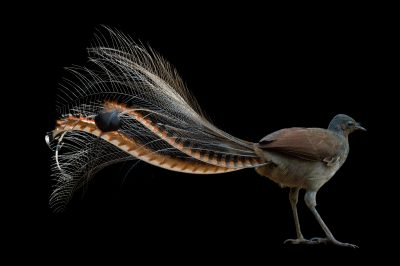 Picture of a superb lyrebird (Menura novaehollandiae) at Healesville Sanctuary.