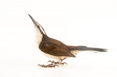 Picture of a bicolored wren (Campylorhynchus griseus) at the National Aviary breeding center in Palmar, Colombia.