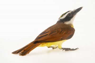 Picture of a great kiskadee (Pitangus sulphuratus) at the National Aviary breeding center in Palmar, Colombia.