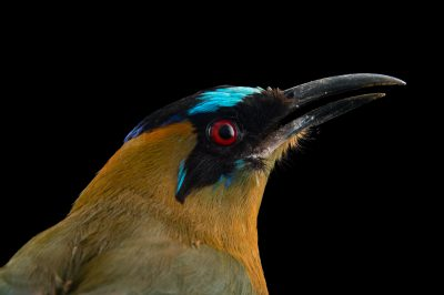 Picture of a whooping motmot (Momotus subrufescens) at the National Aviary breeding center in Palmar, Colombia.