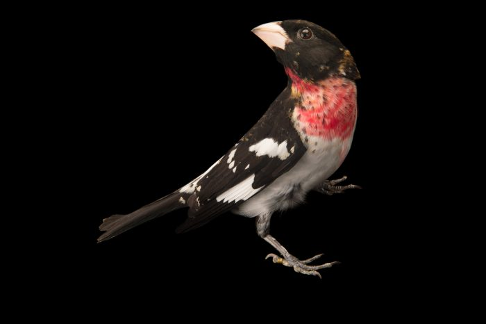 Picture of a rose-breasted grosbeak (Pheucticus ludovicianus) at the National Aviary breeding center in Palmar, Colombia.