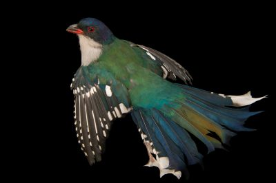 Photo: A Cuban trogon (Priotelus temnurus) from the private collection of Cornel Roels in Choussy, France.