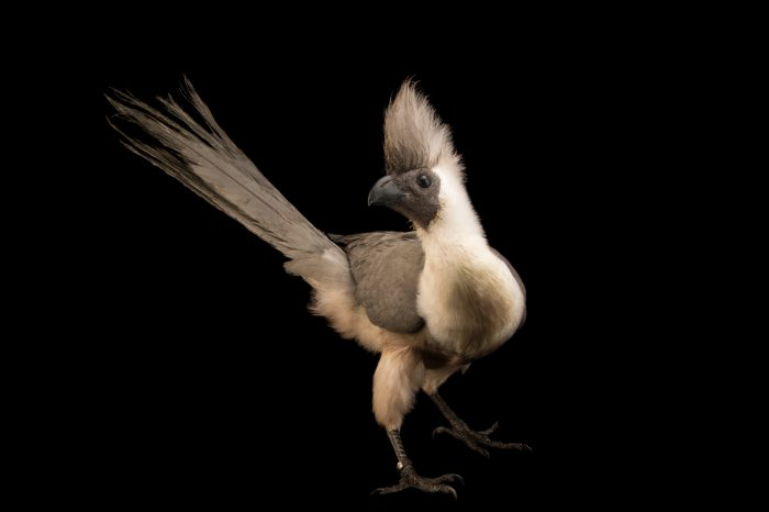 Picture of a brown-faced go-away-bird (Corythaixoides personata leopoldi) from a private collection.