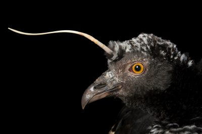 Picture of a horned screamer (Anhima cornuta) at the National Aviary of Colombia.