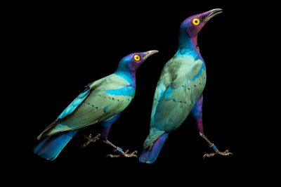 Picture of Purple glossy starlings (Lamprotornis purpureus) at the Kansas City Zoo.