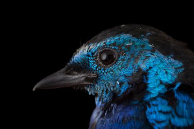 Picture of an opal-rumped tanager (Tangara velia) at the Houston Zoo.