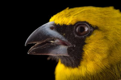 Picture of a yellow-green grosbeak (Caryothraustes canadensis) at the Houston Zoo.