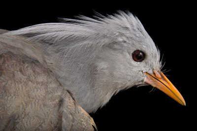 Picture of an endangered (IUCN) and federally endangered Kagu (Rhynochetos jubatus) at the Houston Zoo.