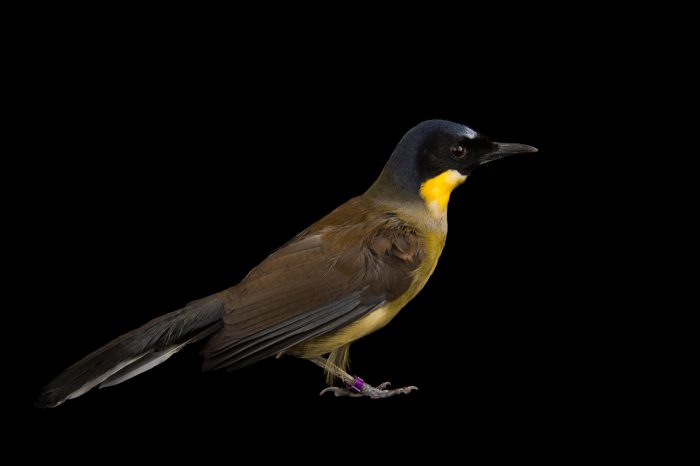 Picture of a critically endangered blue-crowned laughing thrush (Garrulax courtoisi simaoensis) at the Houston Zoo.