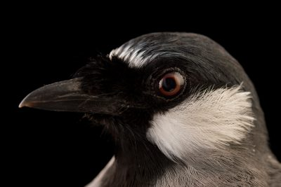 Picture of a black-throated laughing thrush (Garrulax chinensis) at the Houston Zoo.