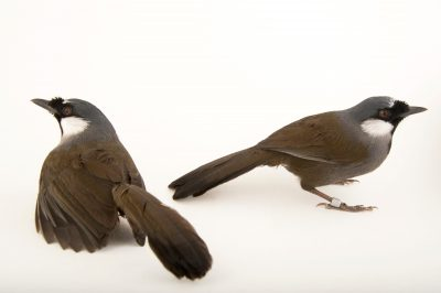 Picture of two black-throated laughing thrush (Garrulax chinensis) at the Houston Zoo.