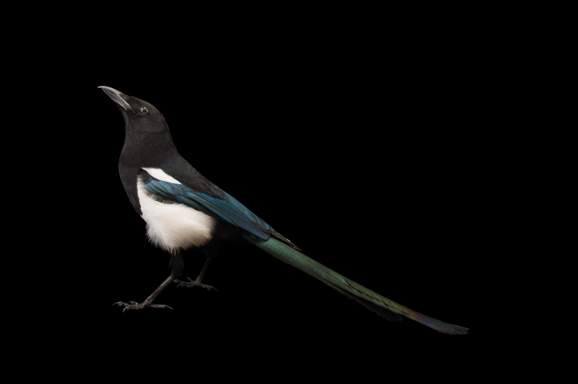 Photo: Black-billed magpie (Pica hudsonia) at Tracy Aviary.