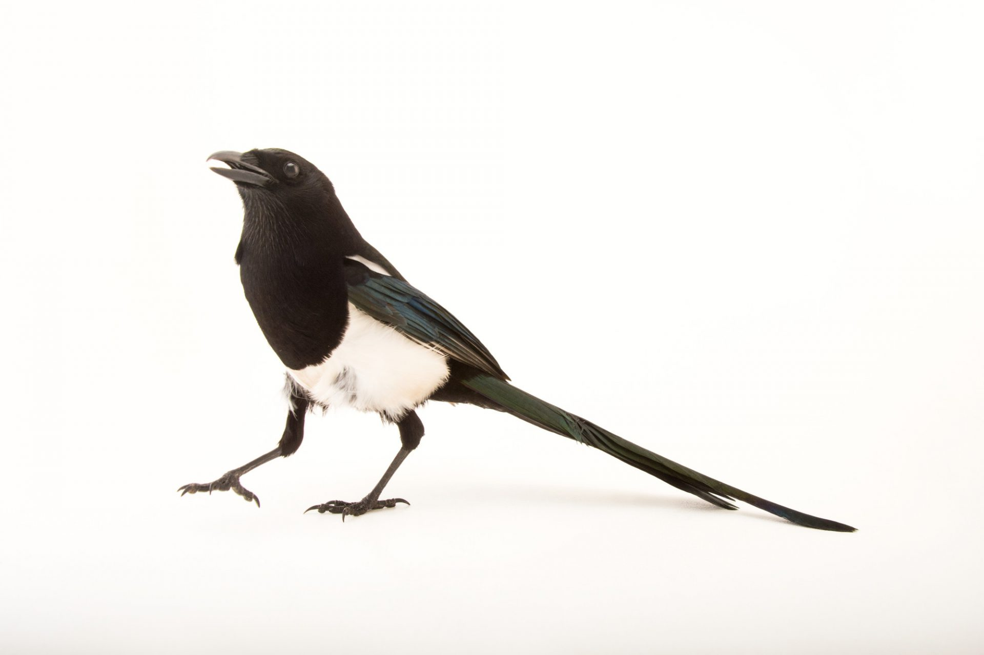 Photo: Black-billed magpie (Pica pica) at Tracy Aviary.