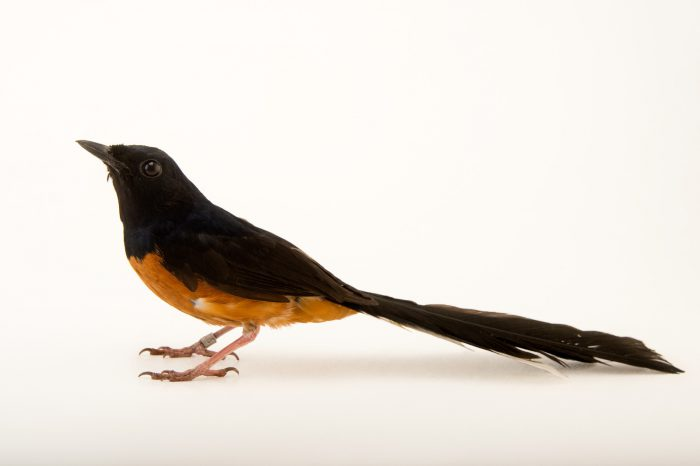 Picture of a Shama thrush or common shama (Copsychus malabaricus) at Tracy Aviary.