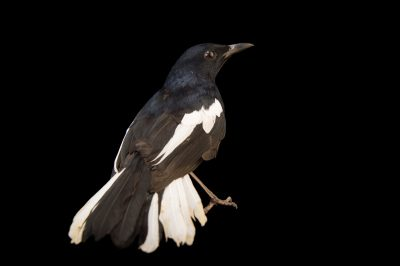 Picture of an Oriental magpie robin (Copsychus saularis) at Tracy Aviary.
