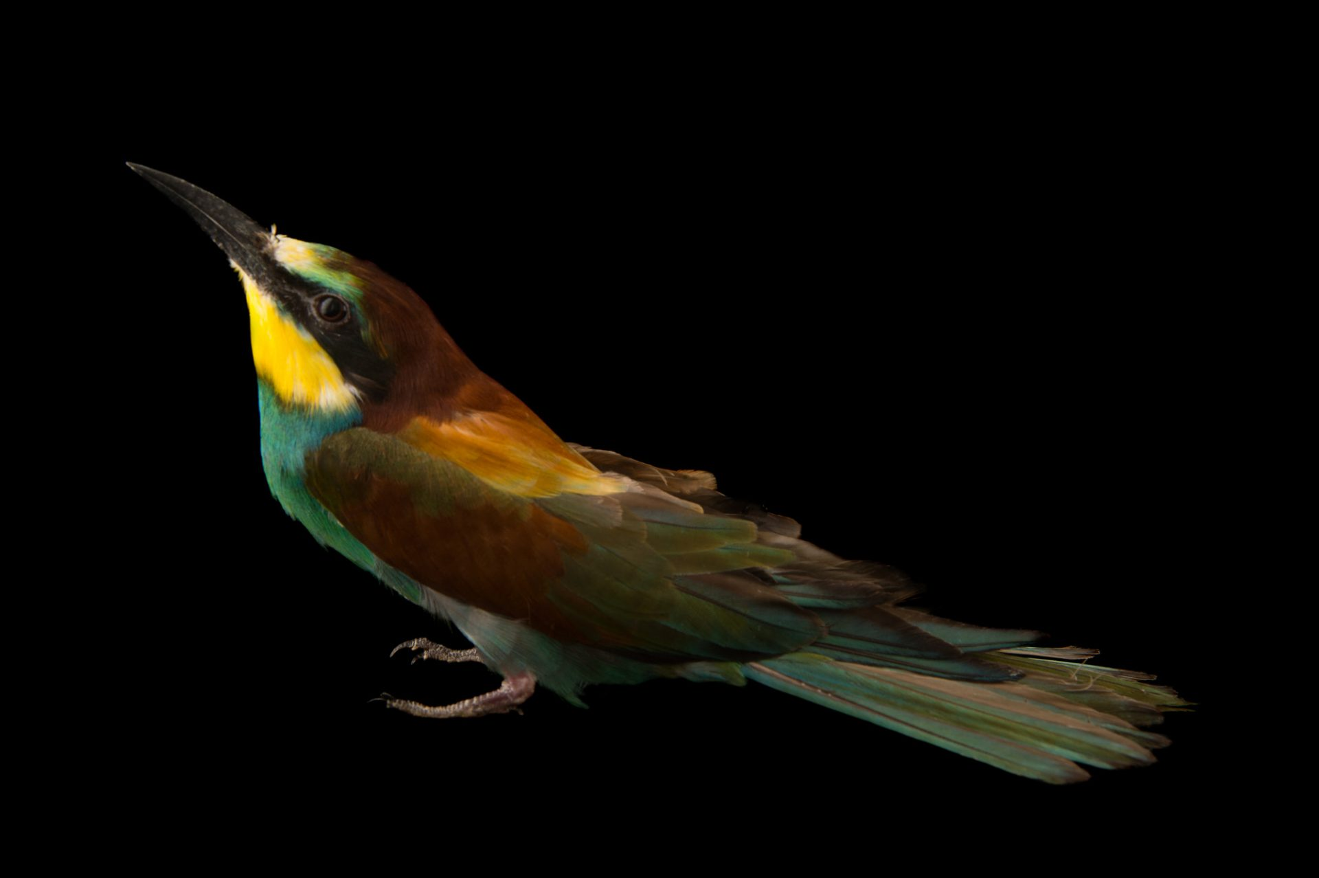 Photo: European bee-eater (Merops apiaster) from the Budapest Zoo.