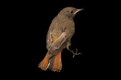 Photo: Black redstart (Phoenicurus ochruros) from the Budapest Zoo.