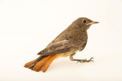 Photo: Black redstart (Phoenicurus ochruros) from the Budapest Zoo.