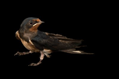 European barn swallow (Hirundo rustica) from the Budapest Zoo.