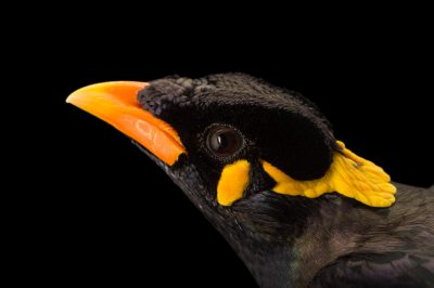 Photo: A common hill myna (Gracula religiosa) at the Assam State Zoo cum Botanical Garden.
