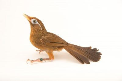 Photo: Chinese hwamei or melodious laughingthrush (Garrulax canorus) at the Sedgwick County Zoo.
